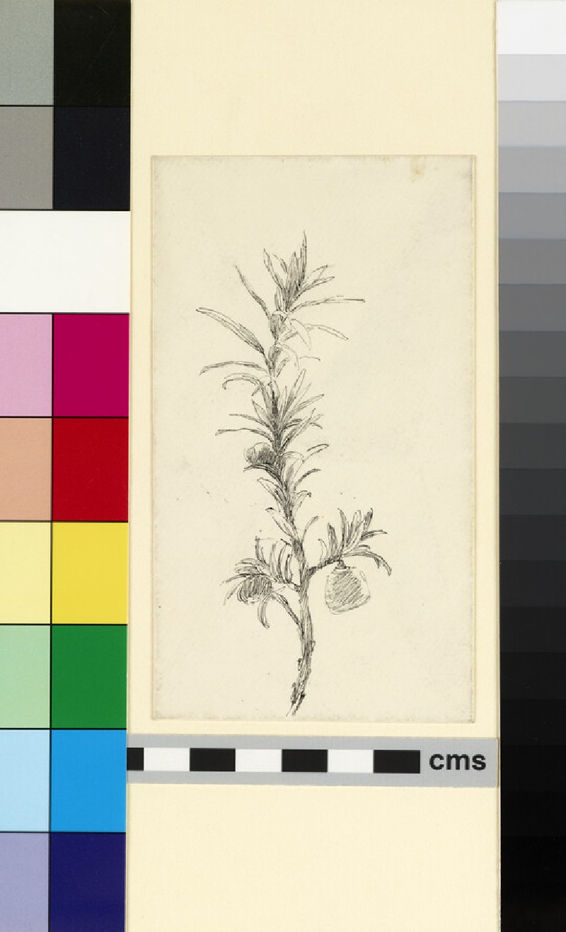Study of a sprig of yew