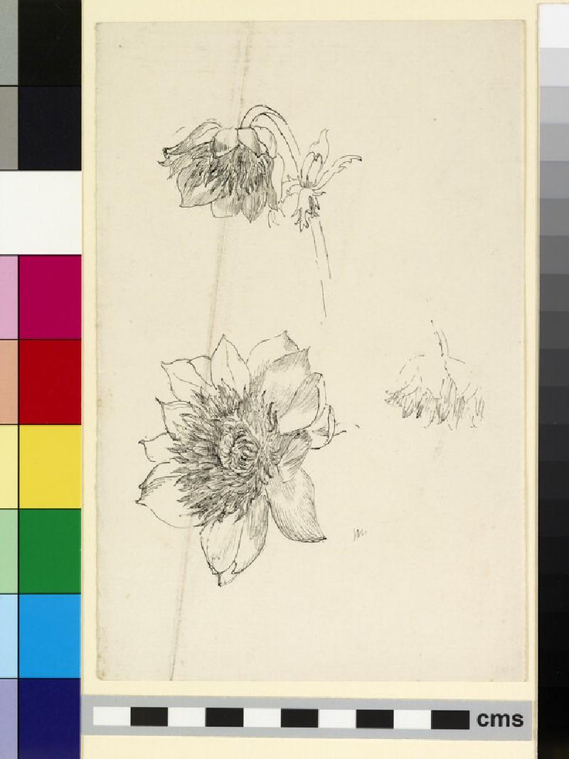 Three studies of an anemone (WA1941.108.131)