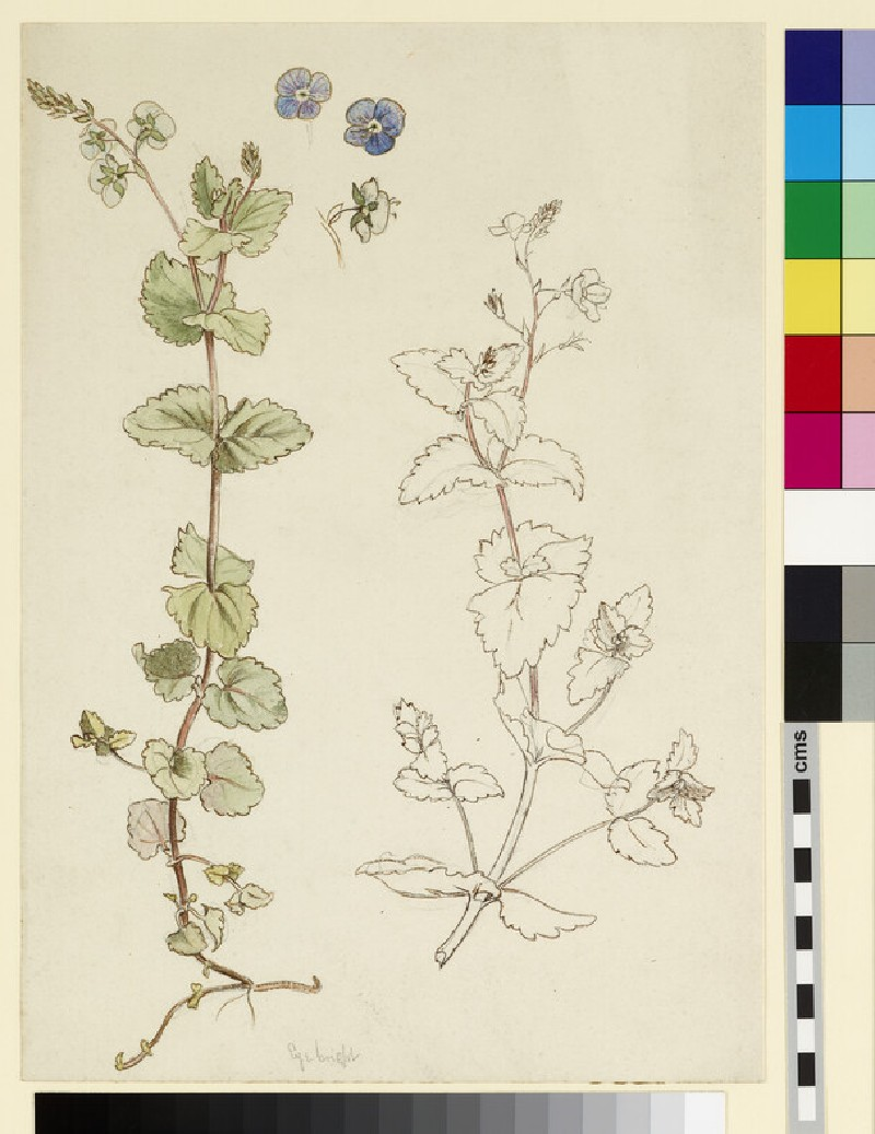 Two studies of Eyebright or Speedwell and three detail studies of the flowers