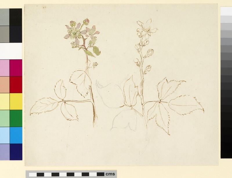 Two studies of flowering blackberry