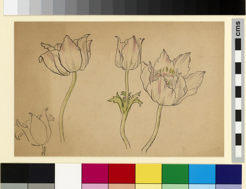 Flower study, possibly anemone (WA1941.108.147)