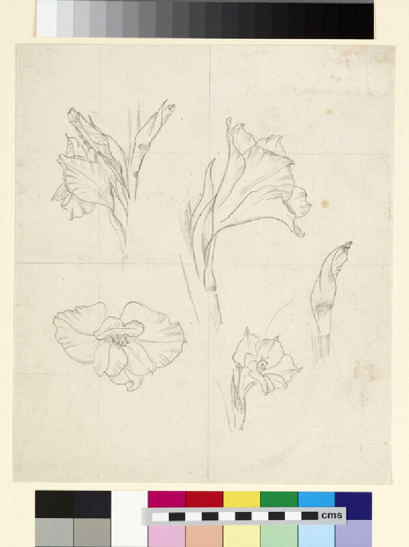 Studies of gladiolus buds and flowers, over squaring up of sheet