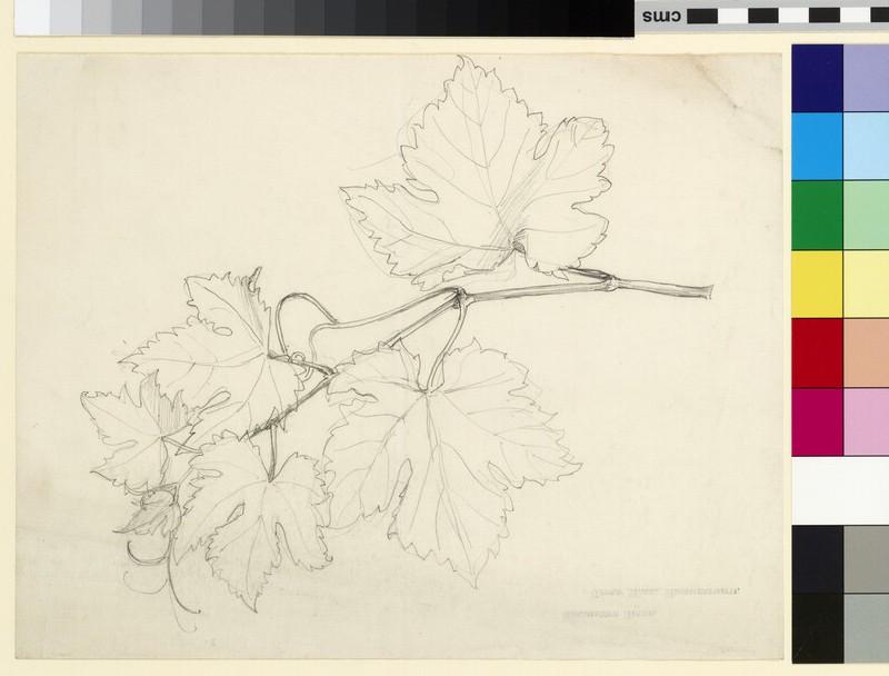 Study of a vine (WA1941.108.155)
