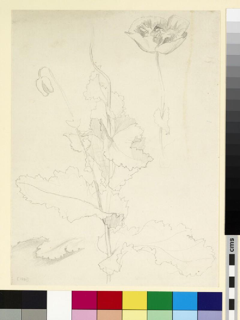 Studies of a poppy