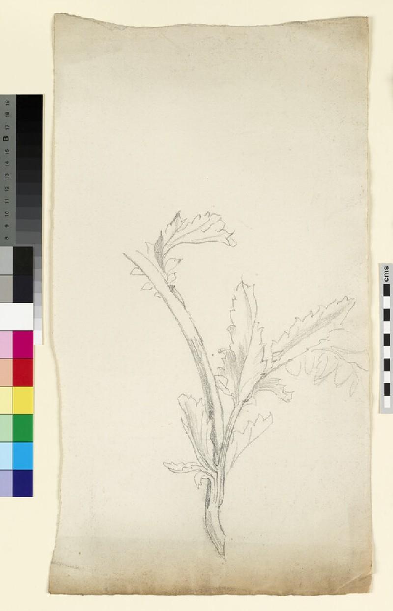 Study of a poppy stem