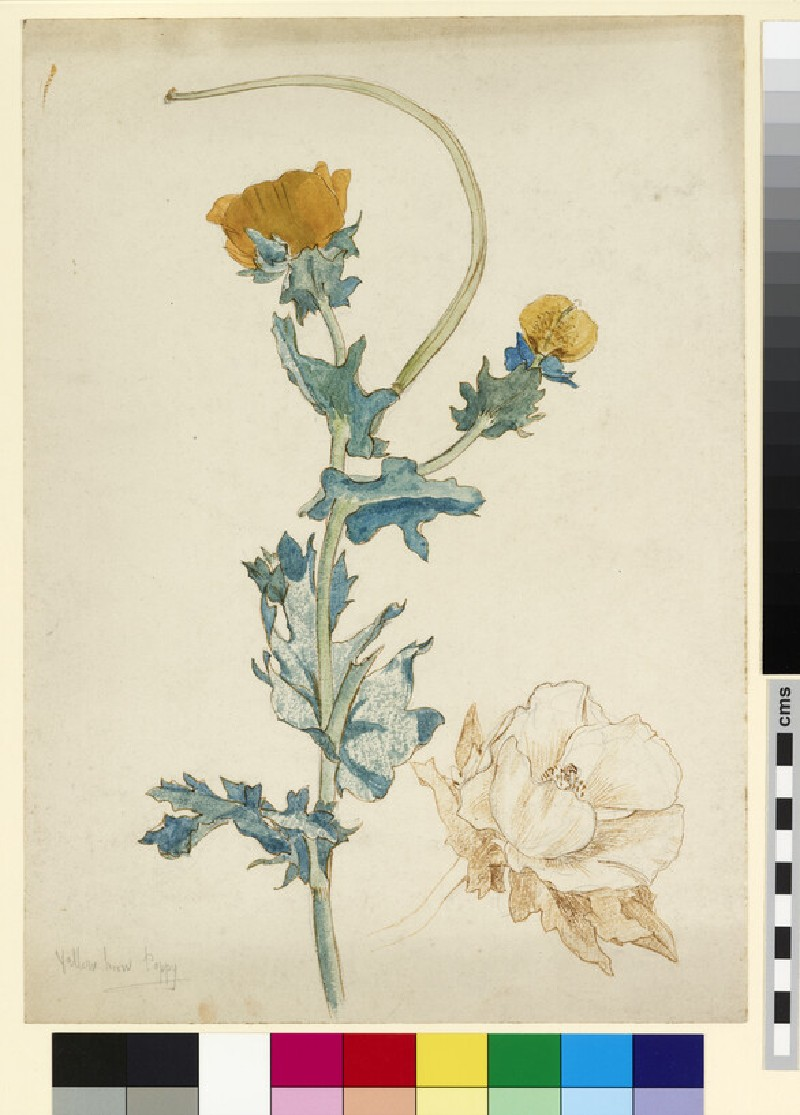 Studies of a yellow-horned poppy (WA1941.108.159)