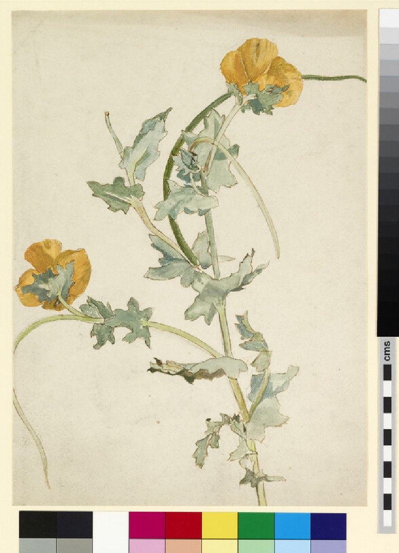 Study of a yellow-horned poppy
