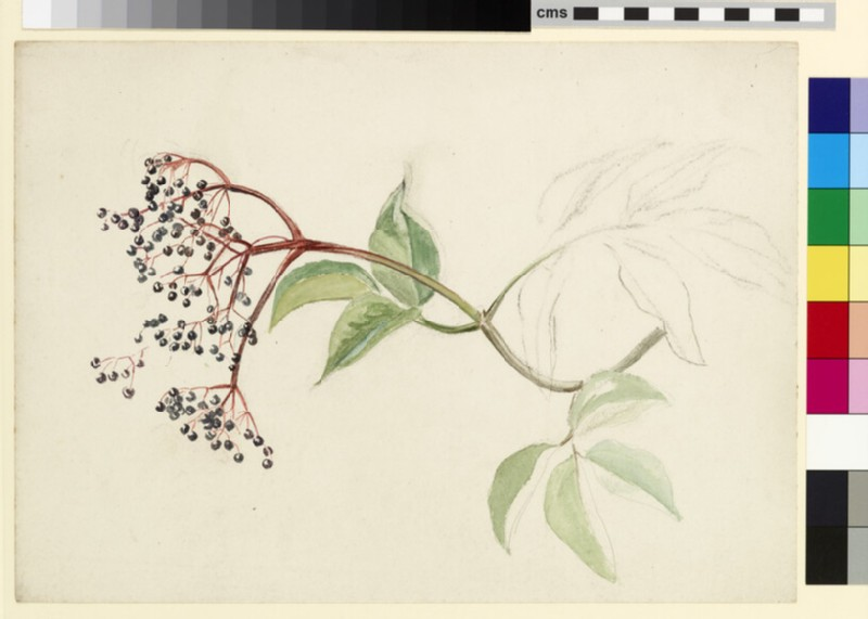Study of a sprig of elderberry (WA1941.108.161)