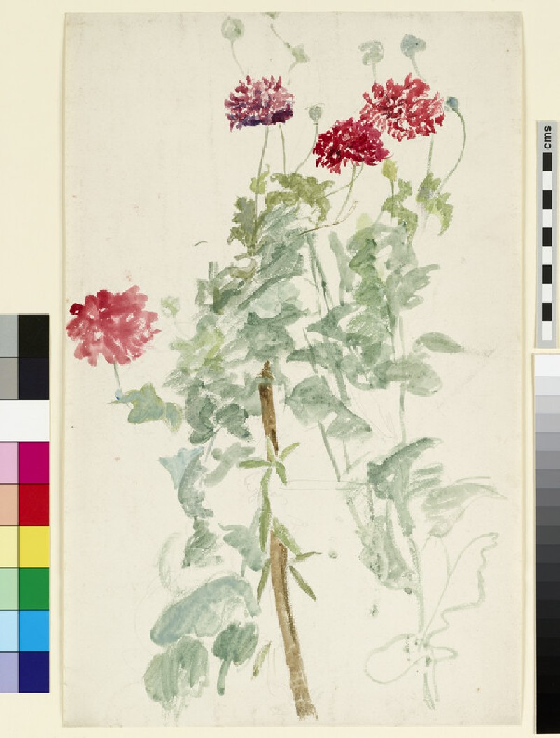 Study of a group of peony poppies (WA1941.108.163)