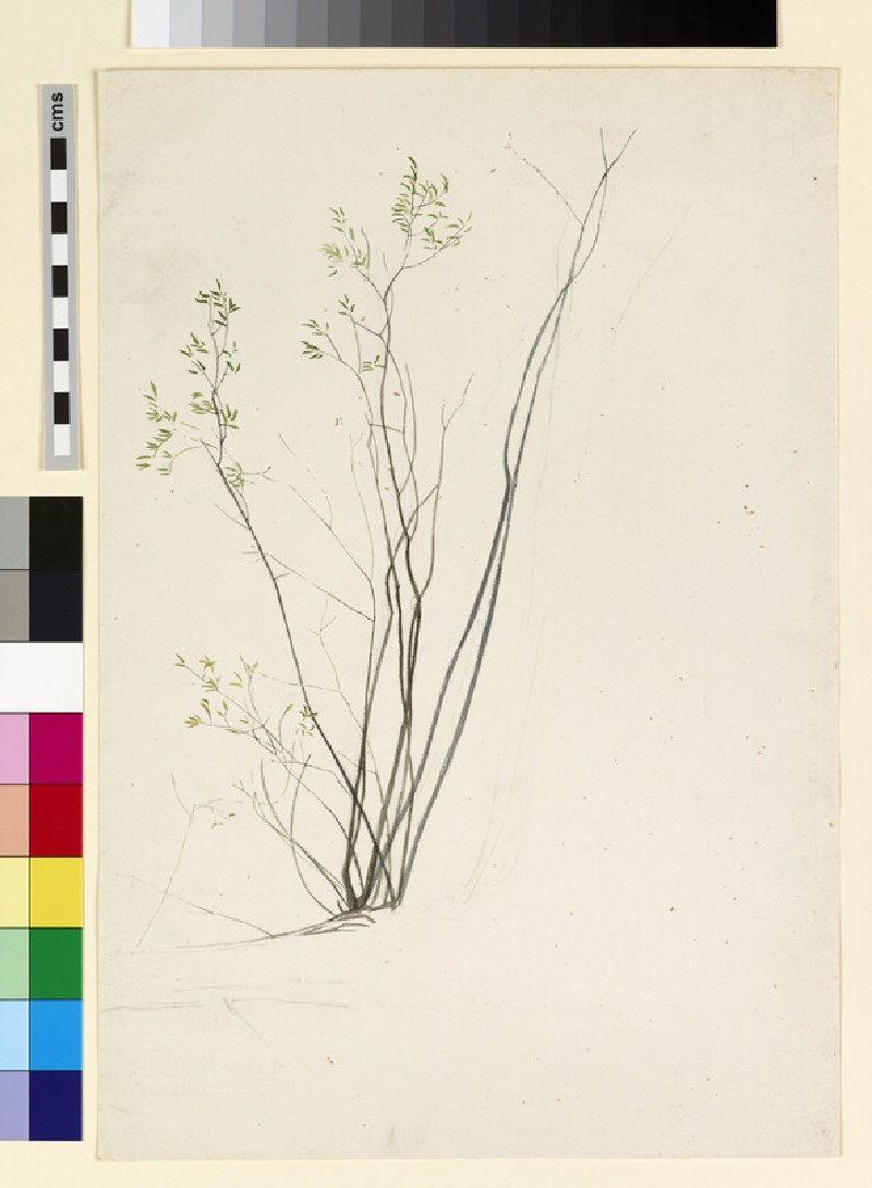 Flower study, possibly of young willow shoots