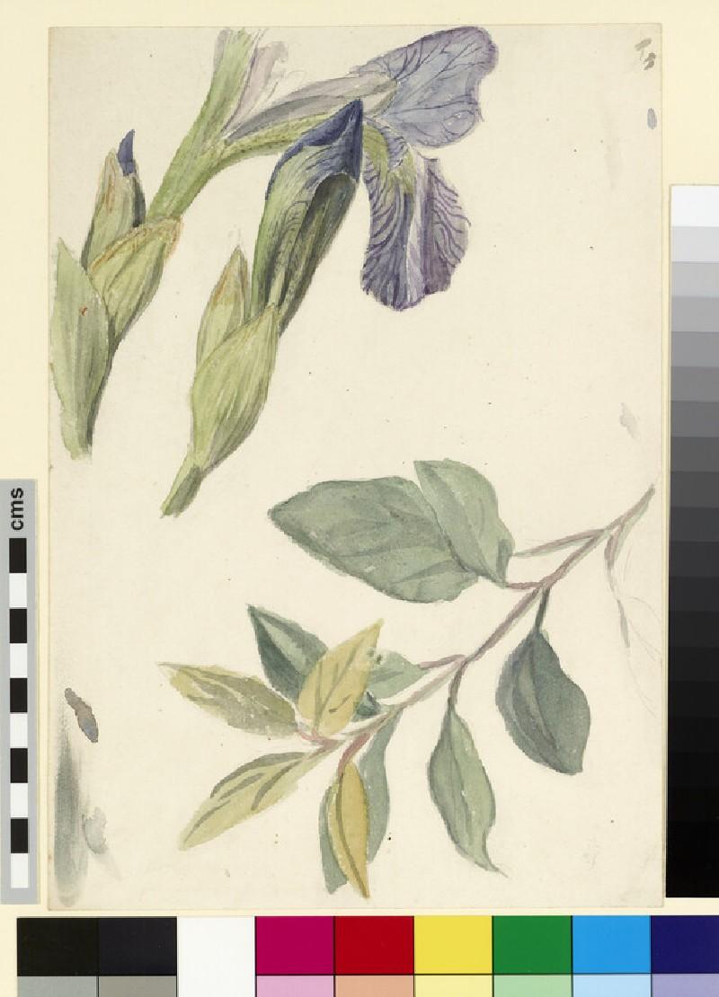 Three studies of iris and a leaf stem
