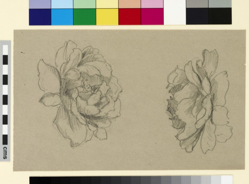 Two studies of a rose (WA1941.108.175)