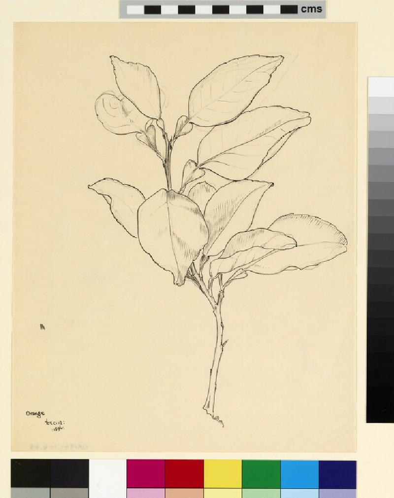 Study of a sour orange sprig (citrus aurantium) (WA1941.108.48)