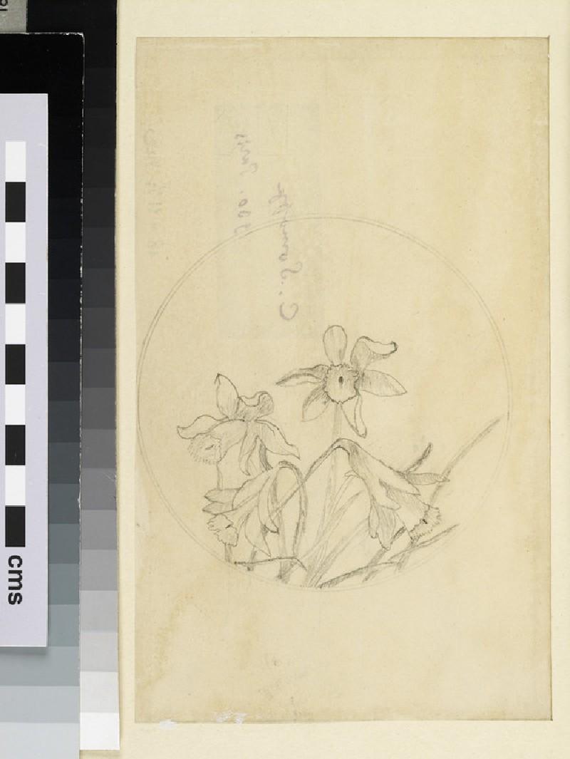 Study of Daffodils