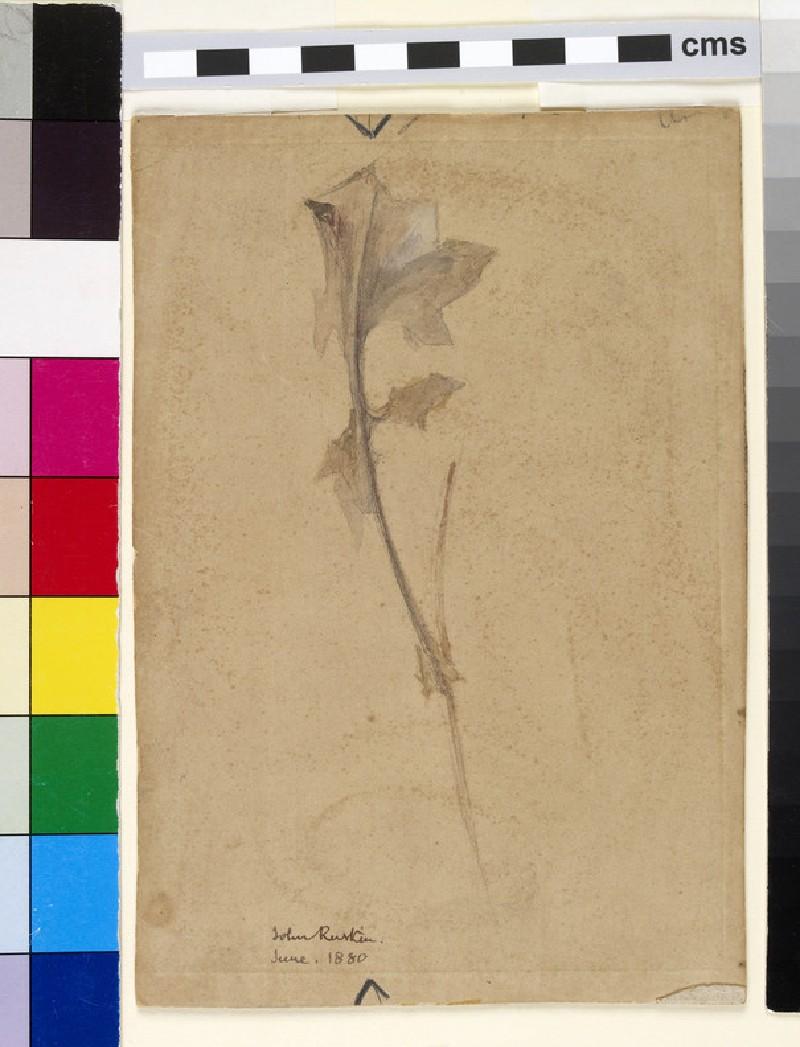 Study of ivy stalk (WA1951.136)