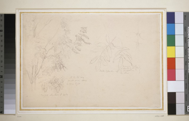 Studies of Ash Leaves and Boughs (WA1954.100)