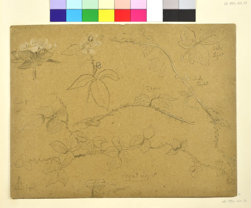 Studies of Bramble Branches in Flower (WA1954.161.29)