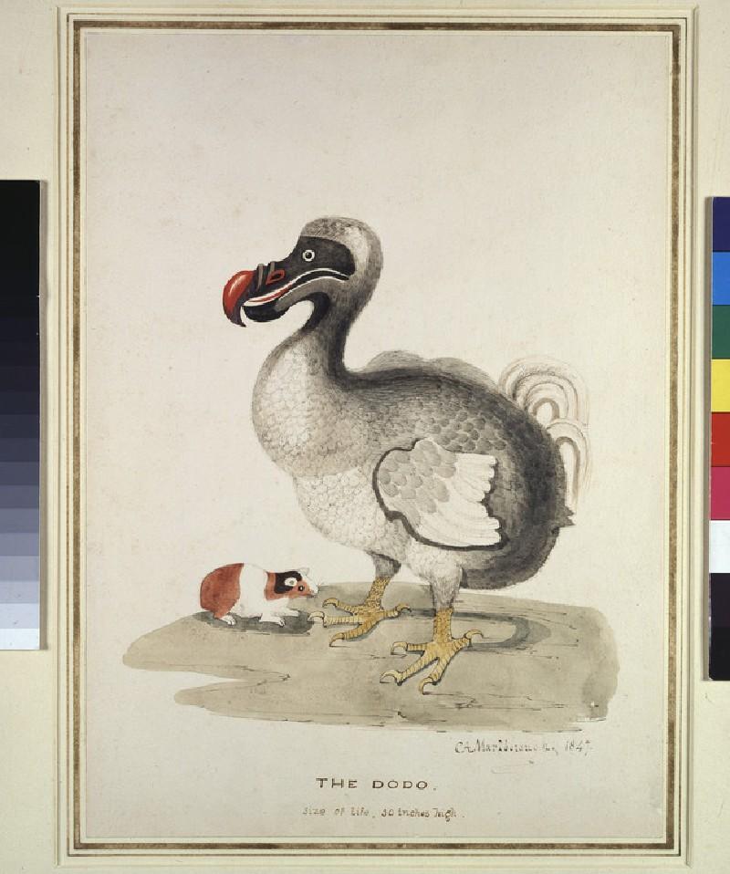 Study of a Dodo and a Guinea-pig