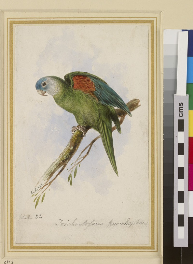 Orange-winged Lorikeet (Trichoglossus Pyrrhopterus) (WA1962.62)