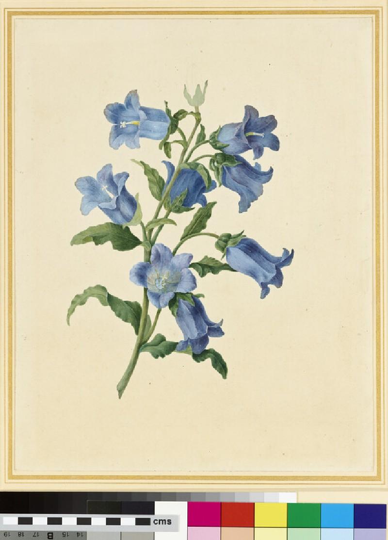 Flower Study: Canterbury Bells