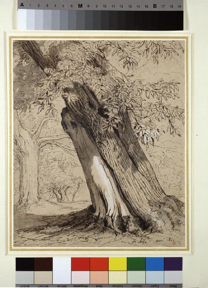 A Spanish chestnut tree (WA1964.61.1)