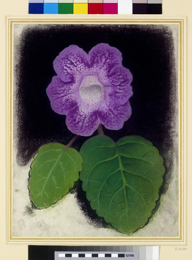 A gloxinia in flower