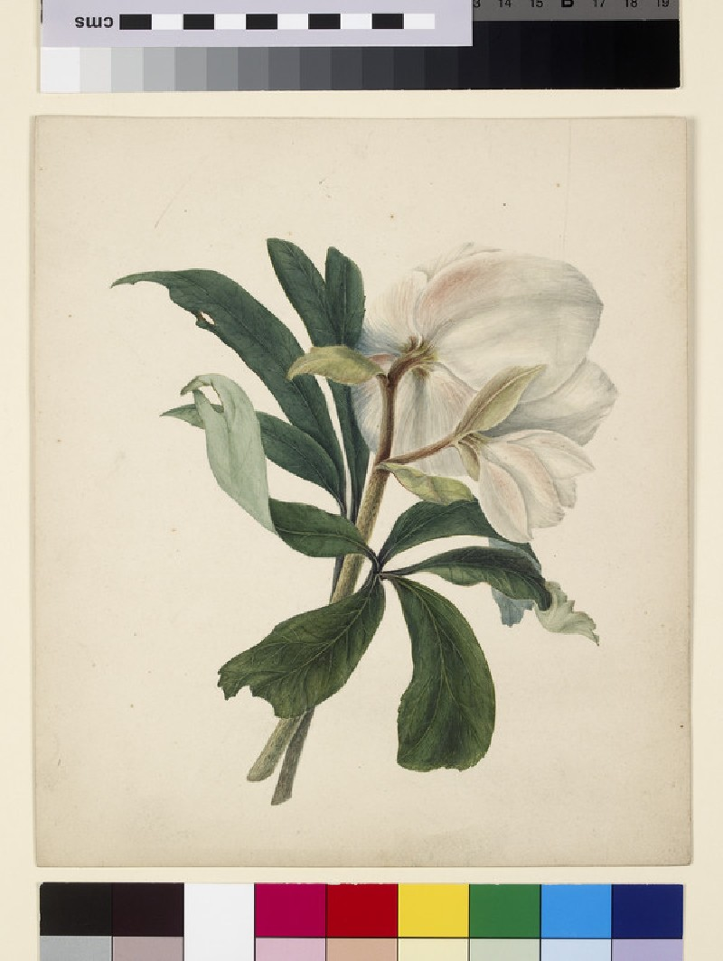 Study of a Christmas Rose (Hellebore) (WA1971.75)