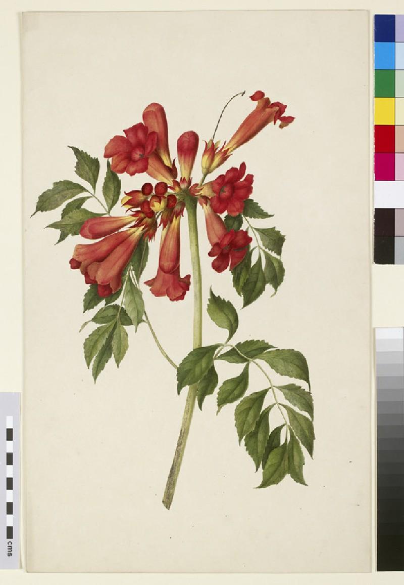 Study of Trumpet Creeper (Bignonia radicans)