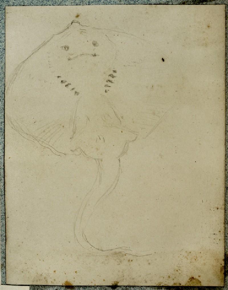Study of a Stingray (WA2007.6.66)