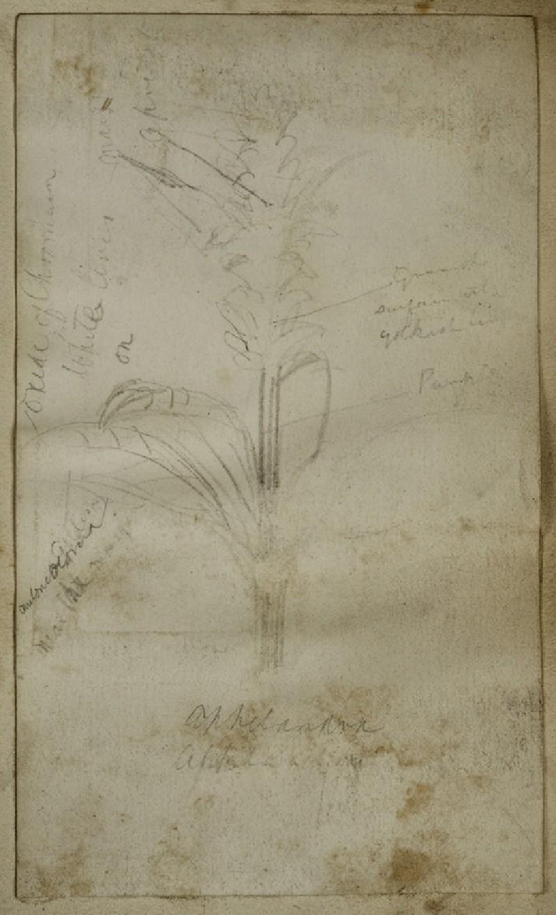Study of a Maize Plant