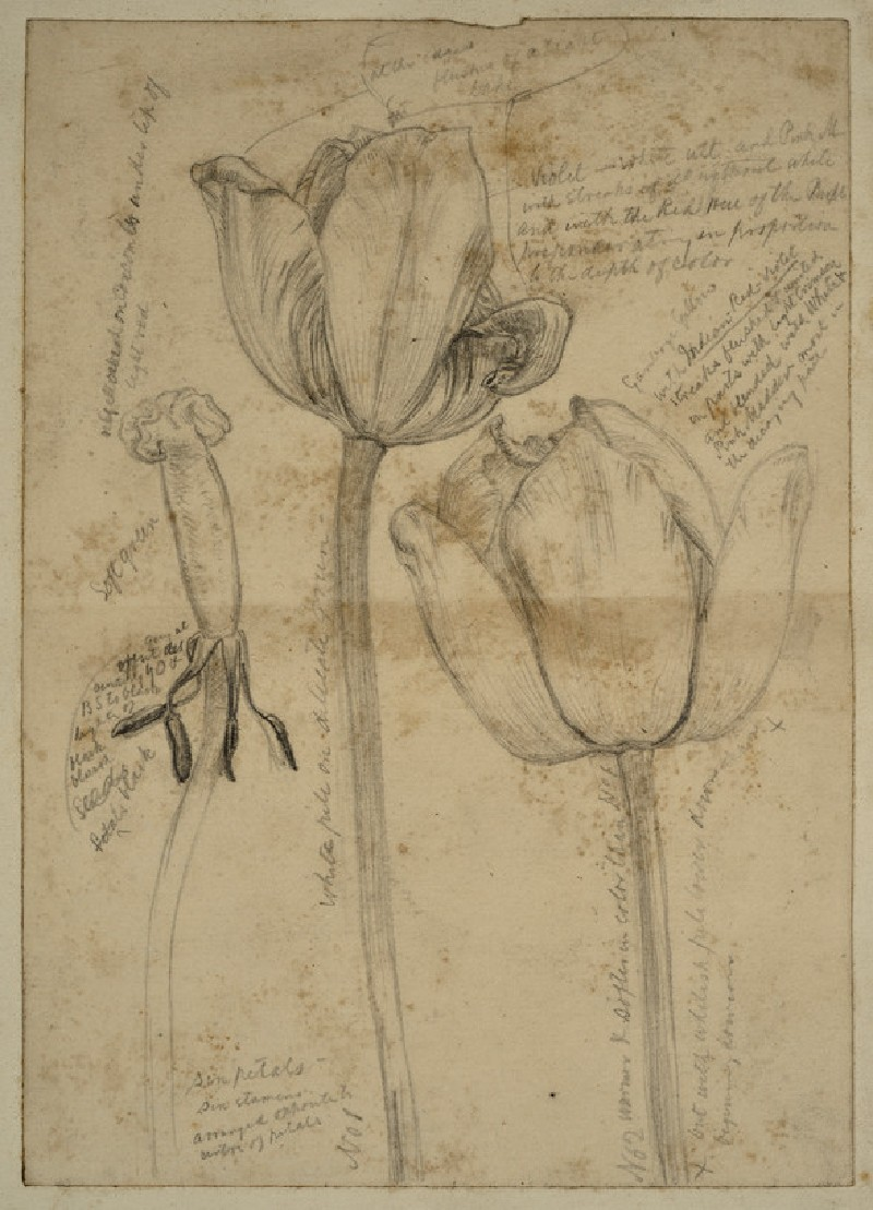 Study of Tulips for 'May Morning on Magdalen Tower' (WA2007.7.95)