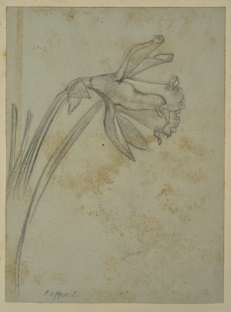 Study of a Daffodil for 'May Morning on Magdalen Tower'