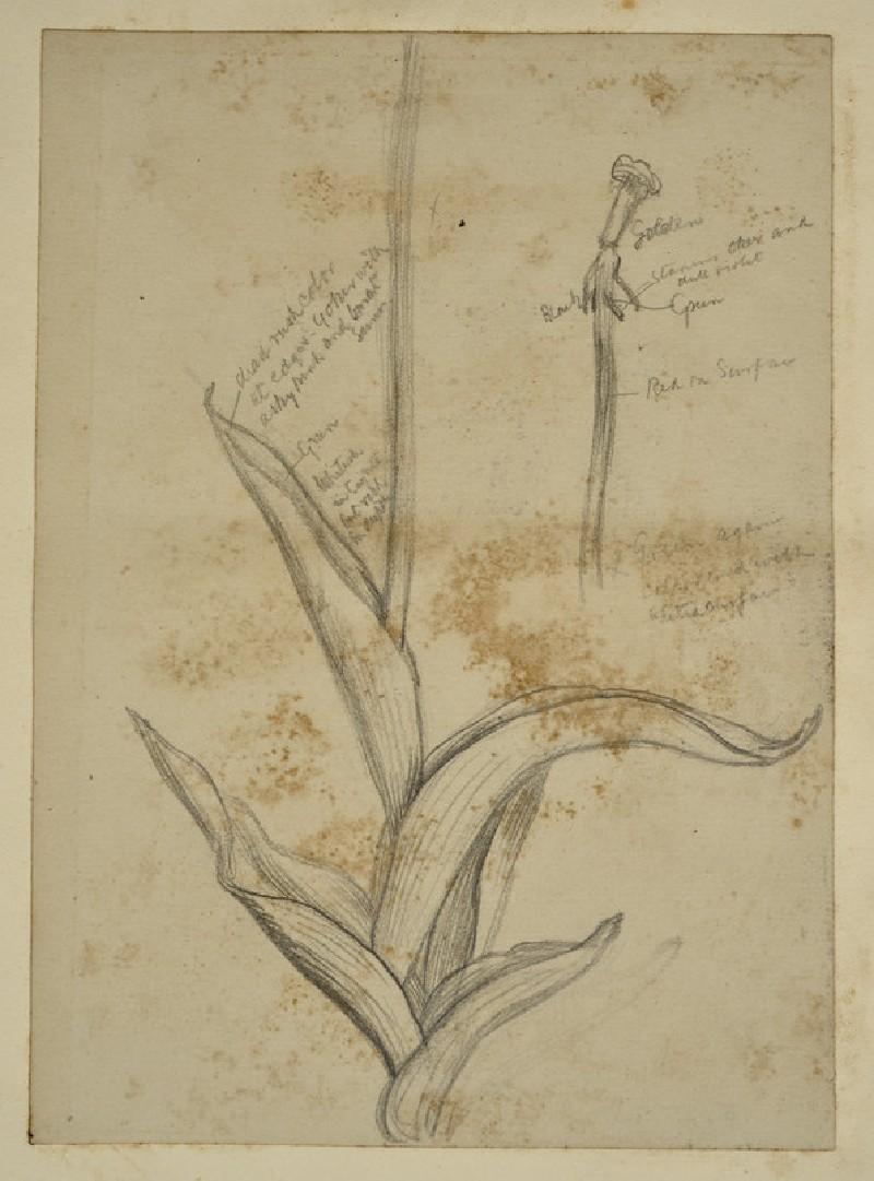 Study of Tulip Leaves