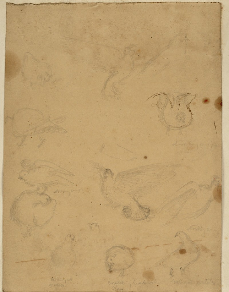 Studies of pigeons, possibly for 'The Afterglow in Egypt'
