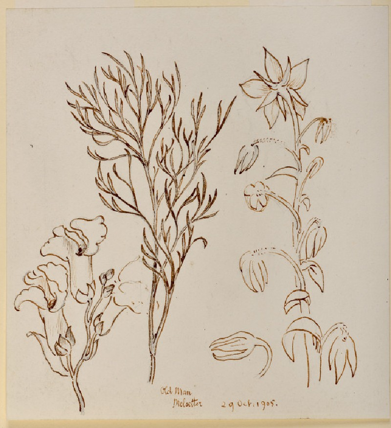 Studies of Old Man (wormwood, or artemisia), Melsetter