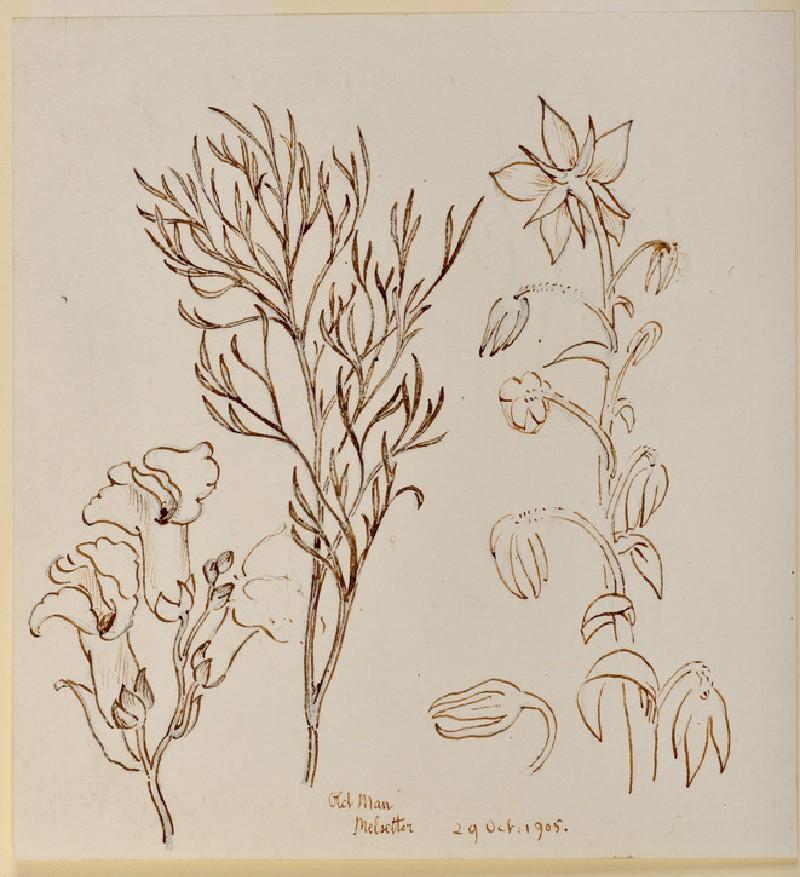 Studies of Old Man (wormwood, or artemisia), Melsetter (WA.OA1296)