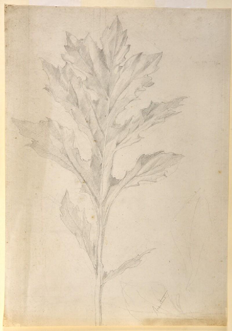 Acanthus (WA.OA1303)
