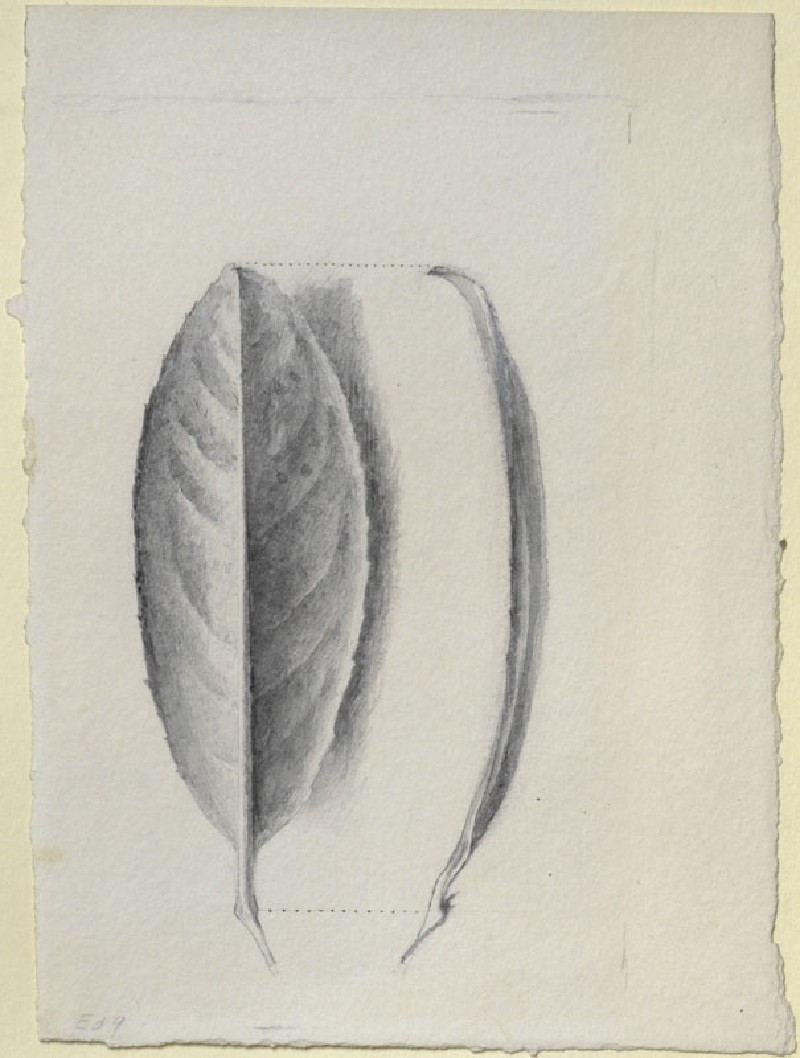 Laurel Leaf, seen Underneath and in Profile