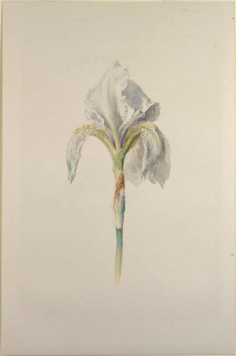 Fleur-de-Lys ('Iris Florentina')
