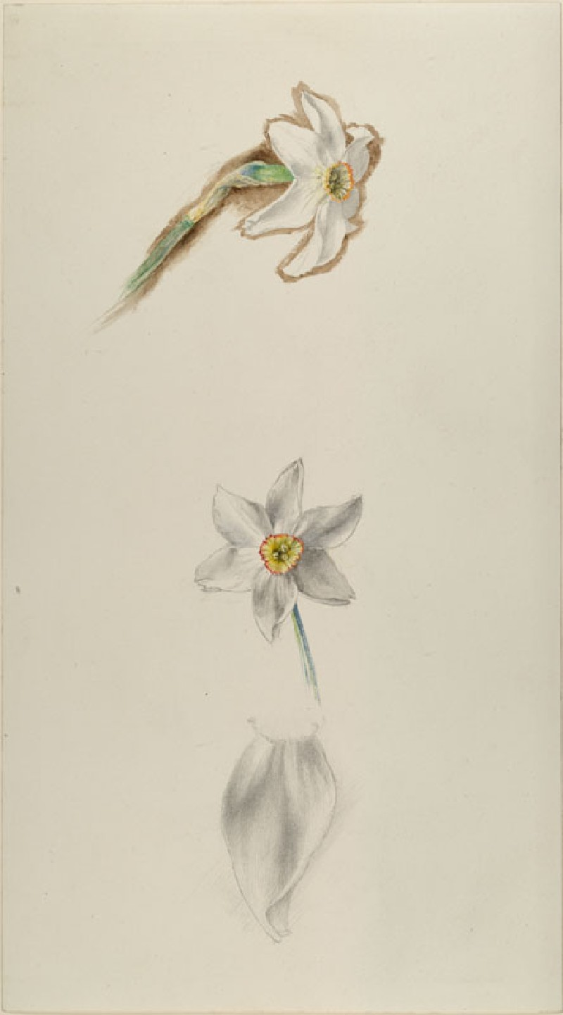 Three Studies of Narcissus ('Field Narcissus of the Alps') (WA.RS.ED.025, Ruskin, John - Three Studies of Narcissus ('Field Narcissus of the Alps') ())