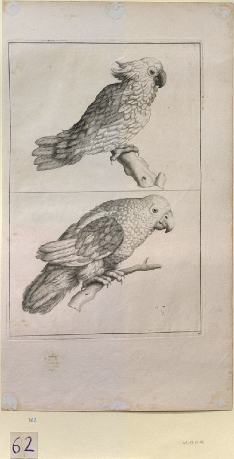 A Cockatoo and a Parrot (WA.RS.ED.162, unidentified - A Cockatoo and a Parrot ())