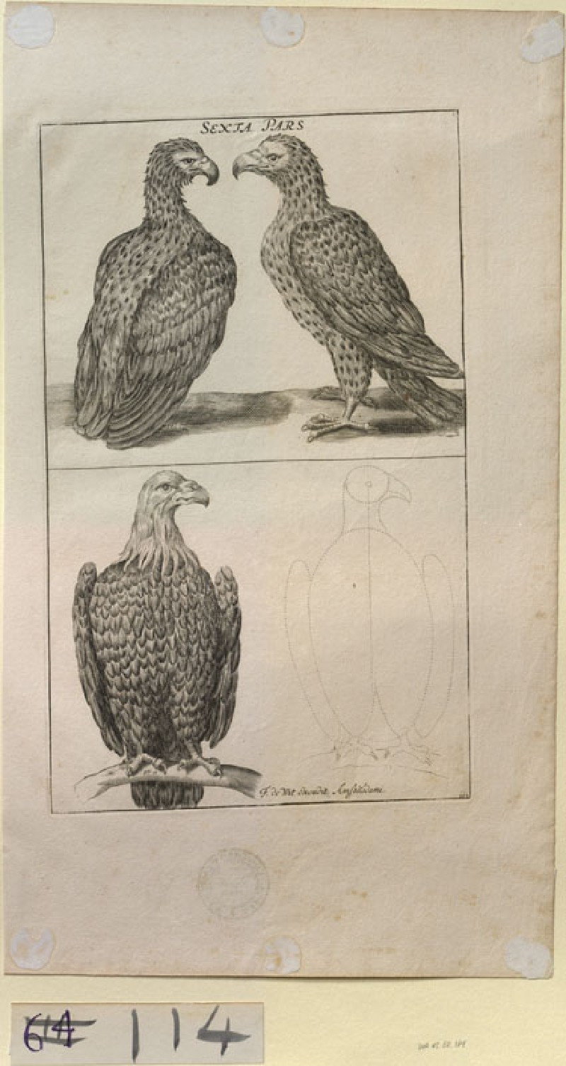 Three Eagles, and an Outline for drawing an Eagle