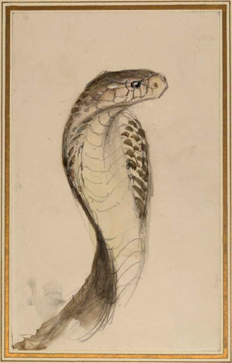 Profile of a Cobra, drawn from Life