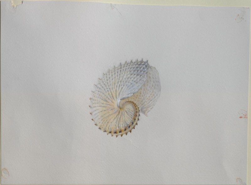 Study of a Paper Nautilus Shell