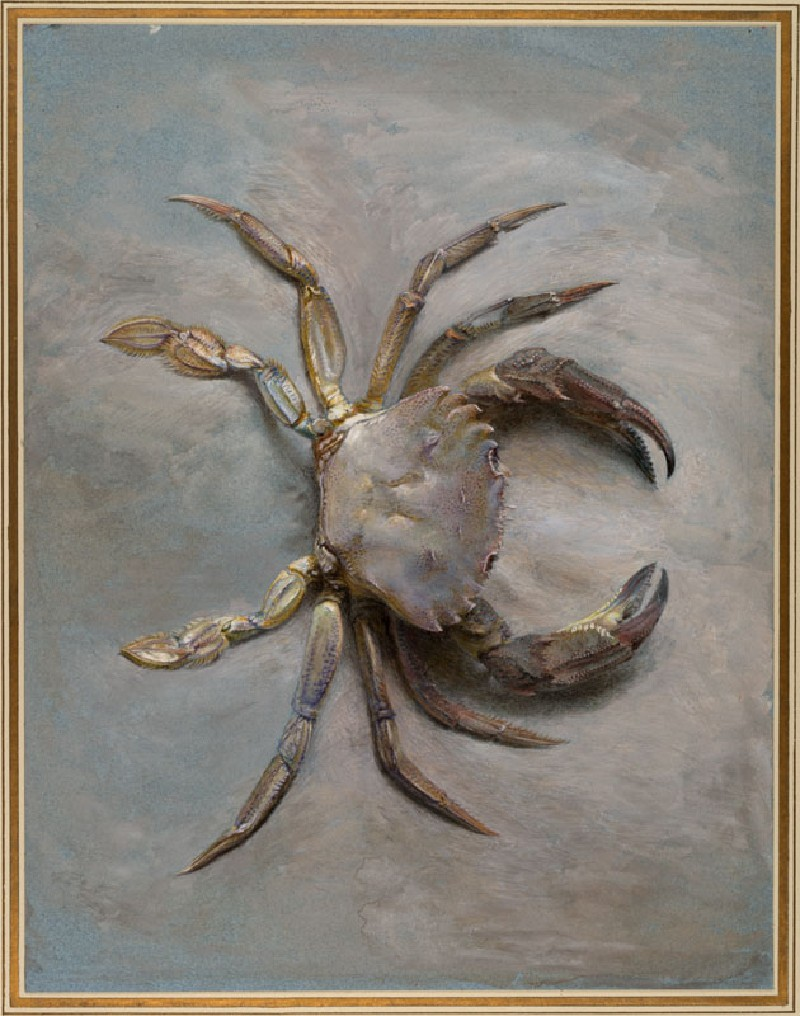 Study of a Velvet Crab