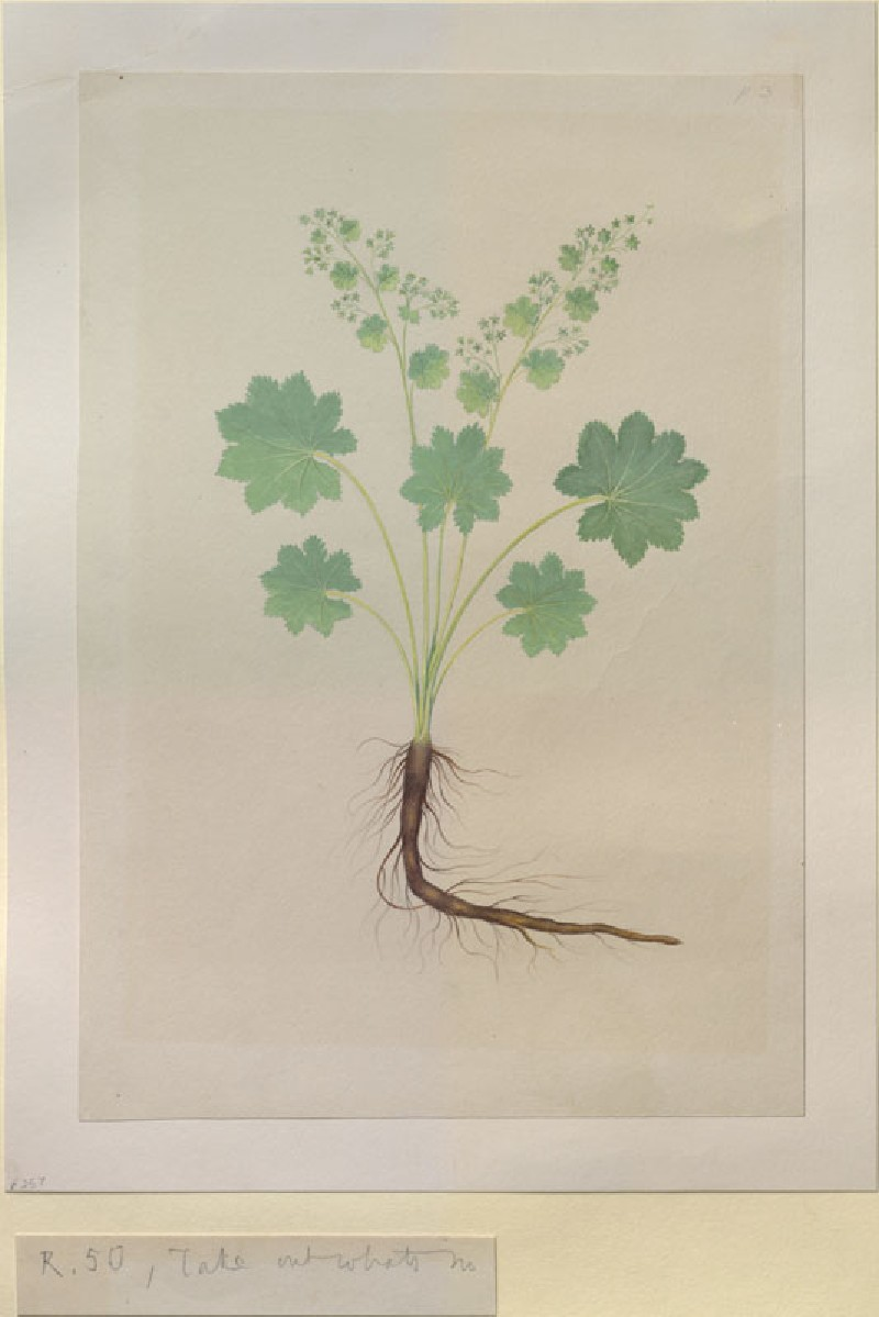 Drawing of an Illustration in the 'Herbal of Benedetto Rin', showing an Alchemilla Plant