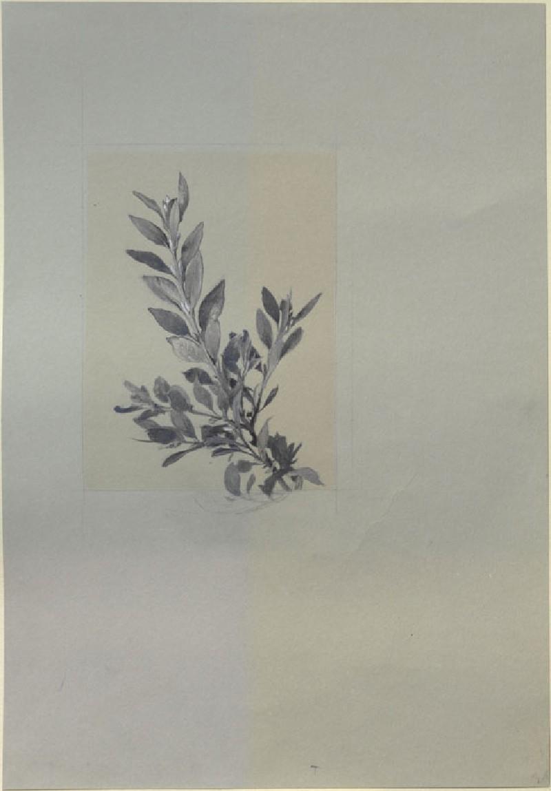 A growing Shoot of Box (WA.RS.ED.268, Ruskin, John - A growing Shoot of Box ())