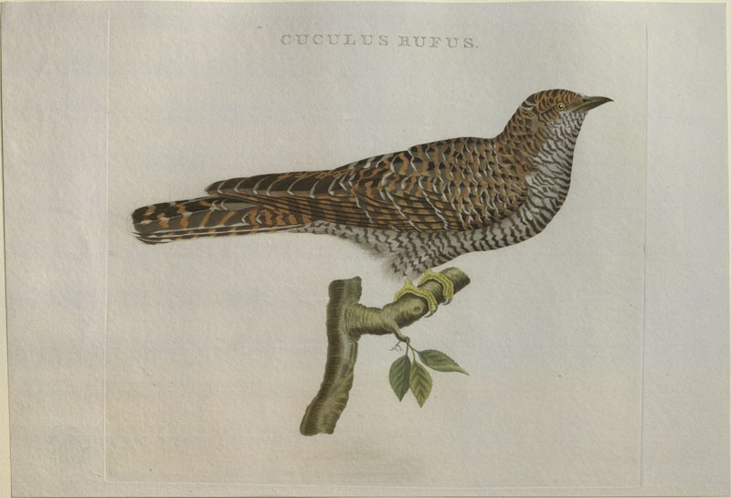 A Cuckoo (WA.RS.RUD5.RUD.182, Sepp, Christiaan, and Jan Christiaen Sepp - A Cuckoo ())