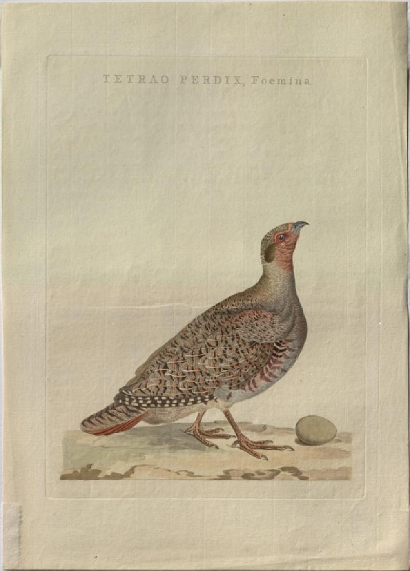 A female Grouse (WA.RS.RUD5.RUD.183, Sepp, Christiaan, and Jan Christiaen Sepp - A female Grouse ())