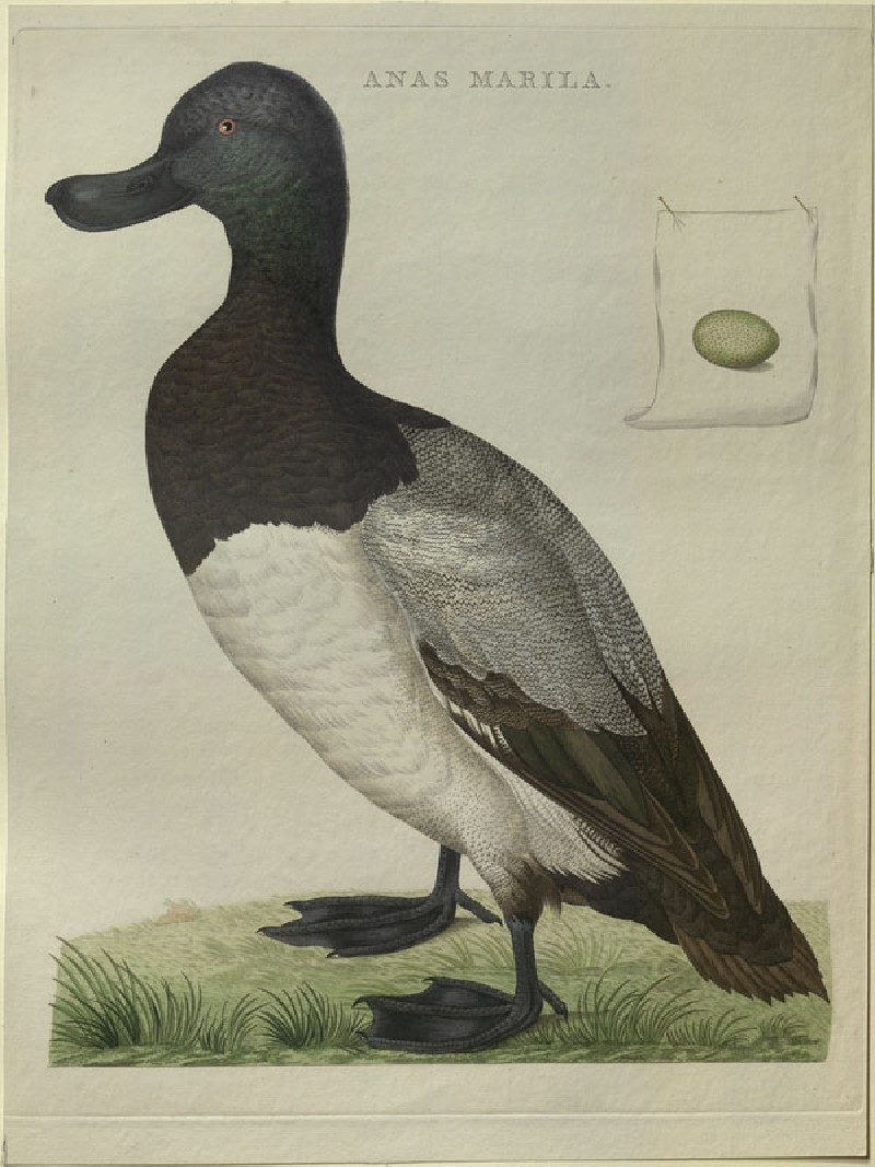 A Greater Scaup (WA.RS.RUD5.RUD.184, Sepp, Christiaan, and Jan Christiaen Sepp - A Greater Scaup ())